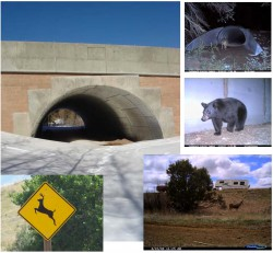 Roads and Connectivity in Colorado: Animal-Vehicle Collisions, Wildlife Mitigation Structures, and Lynx- Roadway Interactions