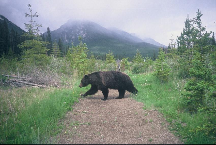 Bear_at_Trail