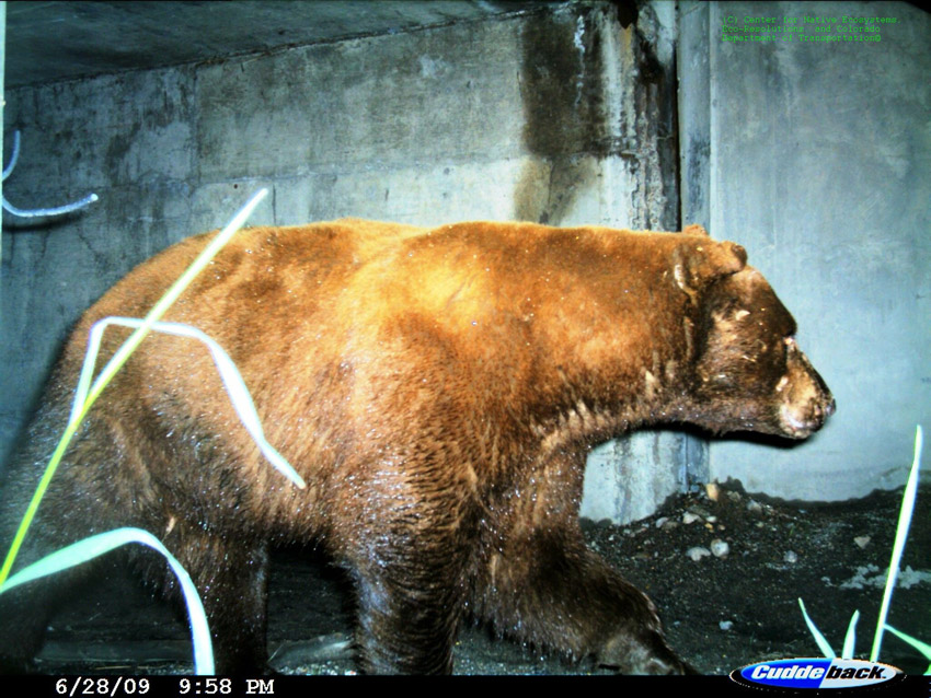 Bear_in_tunnel2