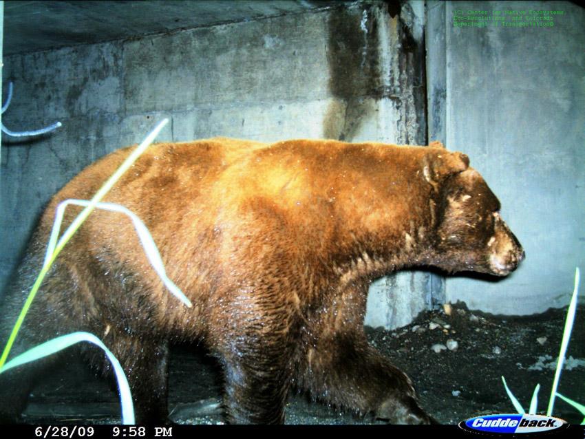 Bear_in_tunnel2