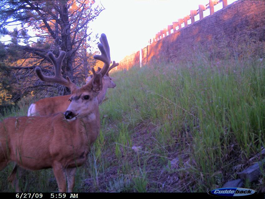 Deer_at_roadway