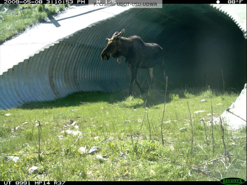 Moose US 89 Culvert Logan Utah_Patty Cramer
