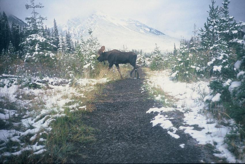 Moose_Crossing_WInter