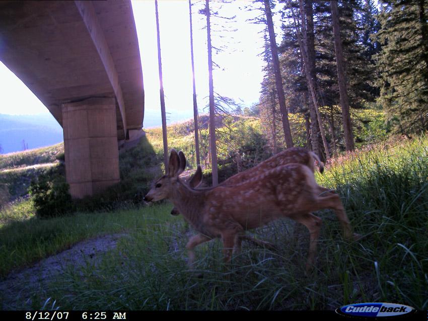 Mule Deer Underpass