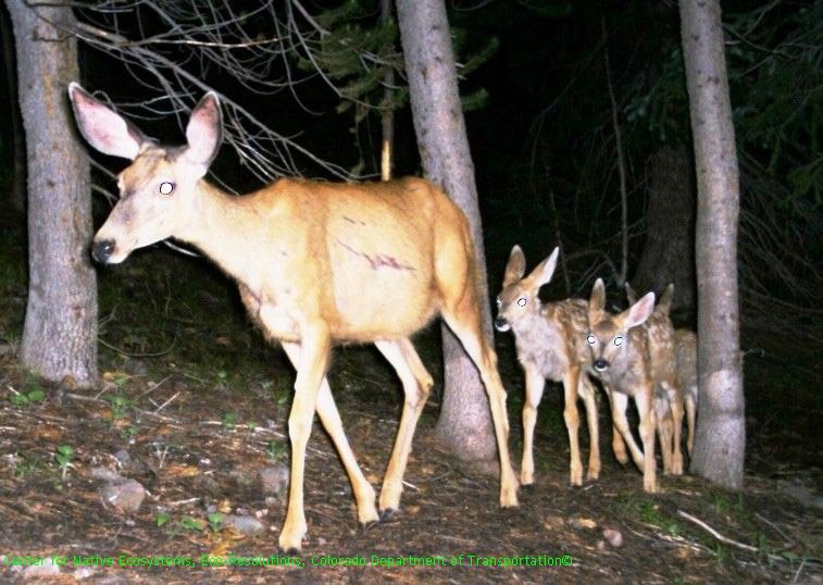Vail Pass Mule Deer and Fawns_CNE Eco Resolutions CDOT