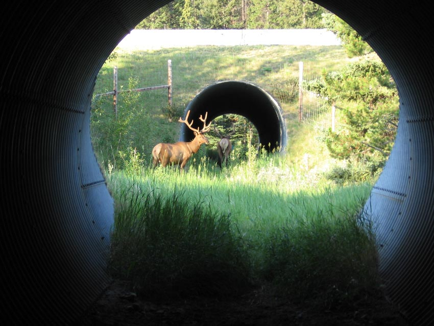 elk using underpass_Clevenger