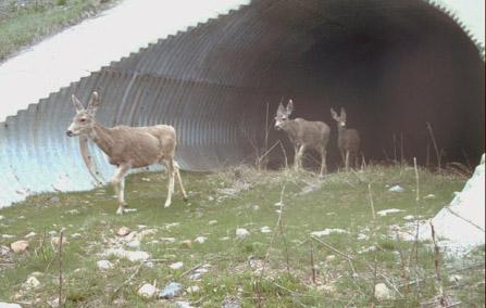 Mule Deer Foundation Wildlife Crossing Research Wildlife