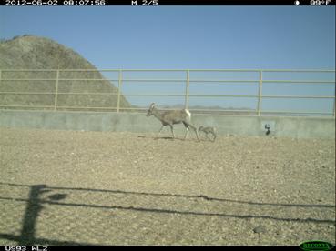 Hwy 93 Bighorn Sheep Overpasses