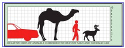A review of large animal vehicle accidents with special attention to Arabian camels