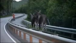 Moose in Saguenay Québec – bike crossing!