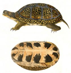 Blanding's Turtles (Emydoidea blandingii) Avoid Crossing Unpaved and Paved Roads
