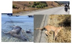 Impact of Wildlife-Vehicle Conflict on Drivers and Animals