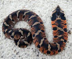 Eastern Hognose Snakes (Heterodon platirhinos) Avoid Crossing Paved Roads, but Not Unpaved Roads